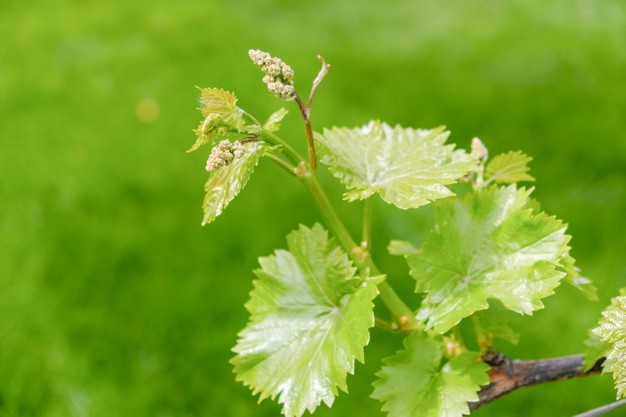 El viñedo en primavera - D.O. Arlanza